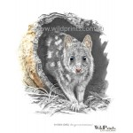 Eastern Quoll by Chris McClelland