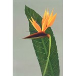 Bird Of Paradise by David Calrow