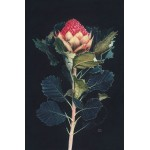 Waratah by David Calrow