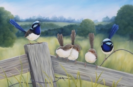 A Moment In Time Superb Fairy Wren
